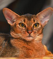 Super-Aby Casablanca абиссинская кошка.