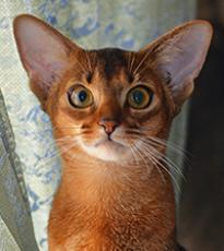 Super-Aby Emily абиссинская кошка